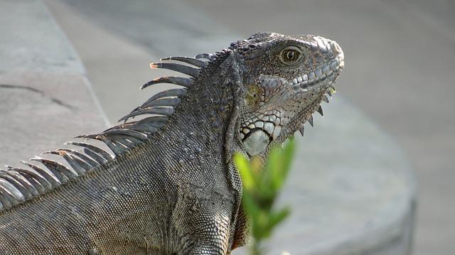 legwan iguana