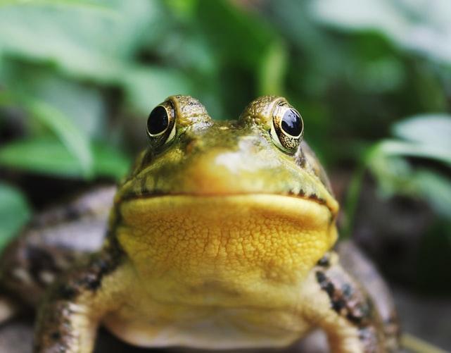domowa żaba niebezpieczna dla dzieci